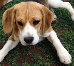 penny the beagle