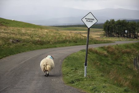 passing place w sheep