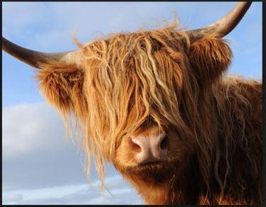 highland-coo