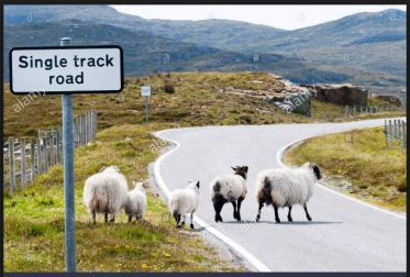sheep-crossing-single-track