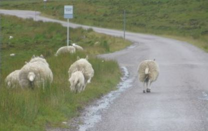 sheep-in-the-road
