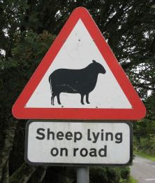 sheep-lying-in-road