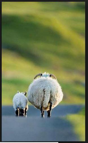 sheep-rears
